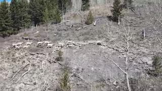 The Wildlife in the Mountain of Alberta Canada