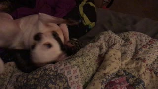 Chihuahua Plays with Cats