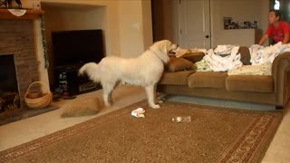 Great Pyrenees Dog Chases Down Her Prey For Fun