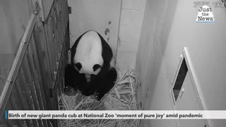 Birth of new giant panda cub at National Zoo 'moment of pure joy' amid pandemic