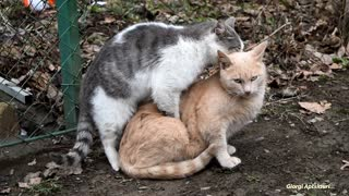 Male Cat wants to be with the Female Cat