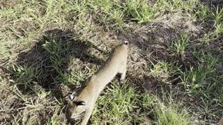 Close call with Florida Bobcat