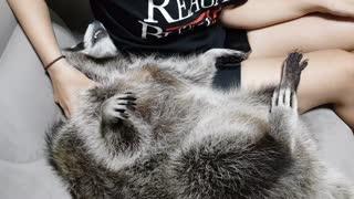 Raccoon likes to get massage