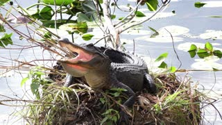 Happy young alligator