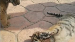 Baby baboon and tiger playing