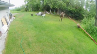 Musically Talented Moose Playing With Wind Chimes