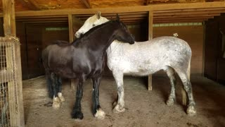 Beautiful horses calmly & lovingly groom each other