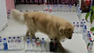 Golden Boi Doing Water Bottle Maze