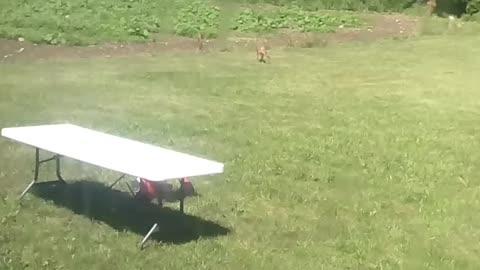 Baby deer playing in my backyard.