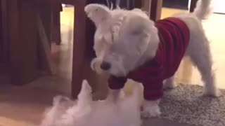 Westie Meets New Puppy Addition For The First Time
