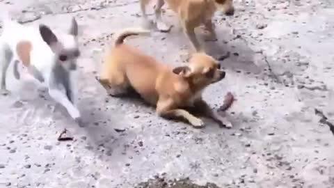 This Dog Walks Hilariously On Its Tummy