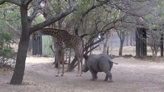 Baby Rhino Got Kicked On The Head by a Giraffe