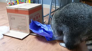 Raccoon unboxes all the boxes by courier.