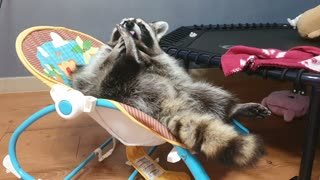 Pet raccoon chills out in a baby swing