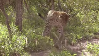Watch this Leopard Fight a Monitor Lizard