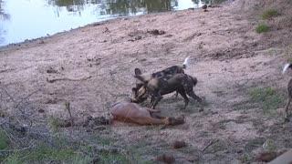 Attack of animals