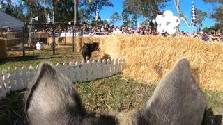 Piglets Find the Finish on Field Day