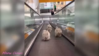 Baby Alaskan Malamute Cutest and Funniest Moments 2021