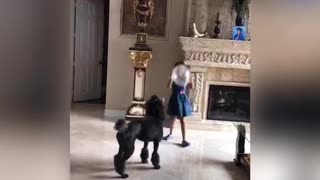 Music black dog plays with little girl balloon poodle