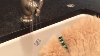 Dog is drinking water from tap