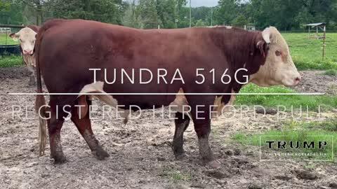"""Registered Hereford Bull """"Tundra 516G"""""""