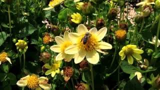 Honey bees in close-up, collecting nectar from flowers