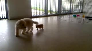 Toy Poodle and Teacup puppies play together