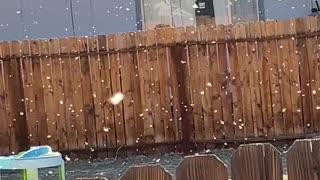 Snowing cottonwood tree seeds