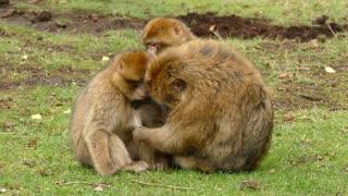happy monkeys family