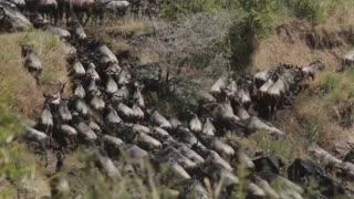 Solo los ñus siguen bailando en tiempos de coronavirus