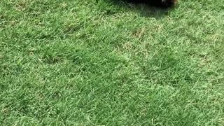 Yorkie Puppy Loves Rolling down the Hill