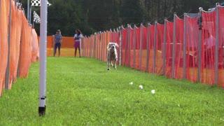 Graceful Saluki glides down the track