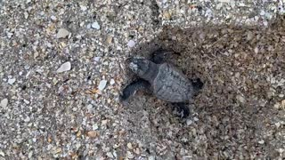 Baby Turtle on a Mission to Catch a Wave