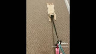 Retriever puppy refuses to go for walk, has to be dragged by the leash