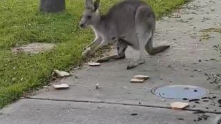 Kangaroo Family Frolicking in the Neighborhood
