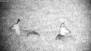 Twin Fawns Resting In The Yard