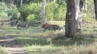 Huge Tiger Strolls Through Herd of Spotted Deer