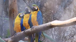 Three Macaws looking at camera