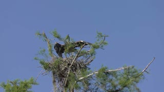 Young Great Blue Heron ready to fly out of nest