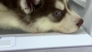 Siberian Husky Pup Wants to Nap on Fridge Shelf