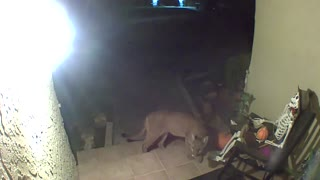 Puma Caught on Camera Investigating Porch