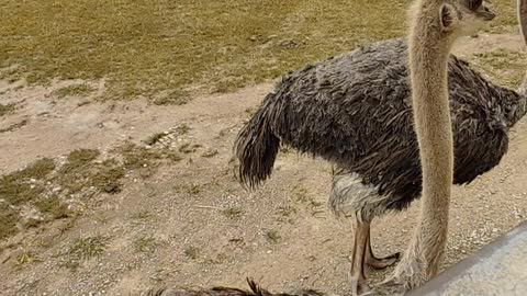 Ostriches at The Wilds in Cumberland Ohio