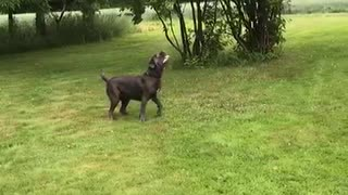 Playful Pooch Entertains Herself with a Balloon