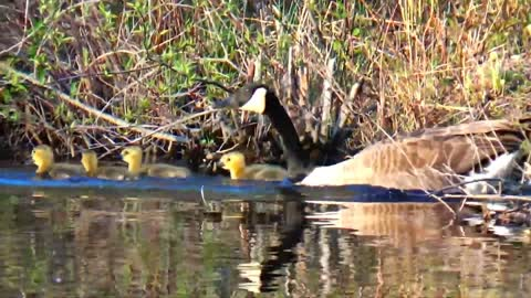 Canada geese and babies