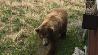 Back Rub for a Brown Bear
