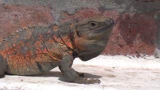 Puerto Vallarta Mexico spinytail iguana