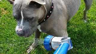 Pitbull loves water