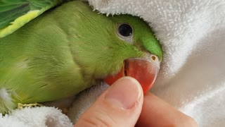Cute parrot chick loves being pet