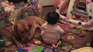 Young toddler sharing a bone with Red Labrador