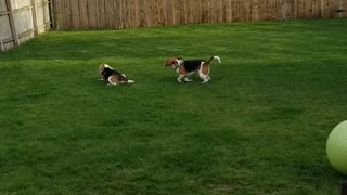 Doggy Uses Zoomies to Convince His Brother to Play